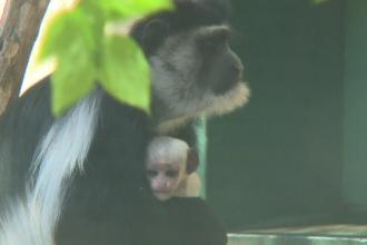 Un pui de maimuţă Colobus, prezentat la un zoo din Ungaria