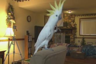 Snowball, papagalul care i-a impresionat pe cercetători cu mişcările sale. Ce ştie să facă
