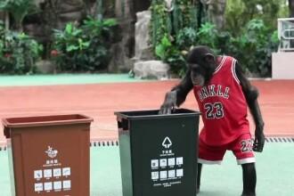 Un cimpanzeu dă lecții multor oameni. Bobo a învățat să recicleze gunoiul
