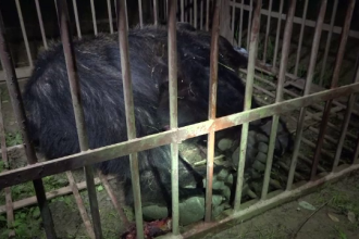 Cum a fost prins ursul are a terorizat un cartier din Alba Iulia mai bine de două săptămâni