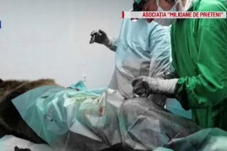 Povestea medicului veterinar care a venit în România special pentru un urs rănit pe DN1