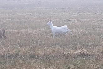 Imagini virale cu o căprioară albă pe un câmp din Cluj: