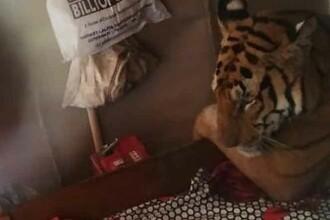 Un tigru fugit din calea inundaţiilor a fost descoperit relaxându-se în patul unei case