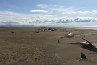 Mister în jurul a 50 de balene găsite moarte pe o plajă din Islanda. Imagini sfâșietoare