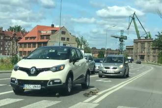 Șofer căutat de poliție după ce a călcat un pui de rață la o trecere de pietoni