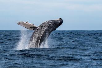 Momentul în care un leu de mare este surprins în gura larg deschisă a unei balene. FOTO