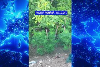 Poliţist rutier din Arad, arestat preventiv după ce la locuinţa sa a fost găsită o cultură de cannabis