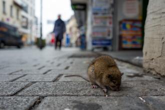 """Oamenii sunt terorizați, după ce casele le-au fost invadate de șobolani: """"Au început să fie din ce în ce mai disperați"""""""