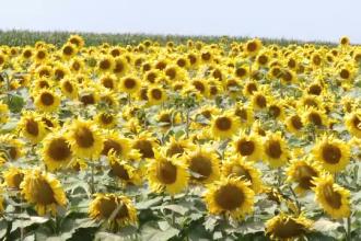 """De la agonie la extaz. Recoltele au fost salvate la limită de ploaie: """"Floarea soarelui a explodat"""""""