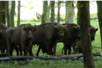 Imagini impresionante în Neamț. Zimbrii fac zid viu de apărare în jurul unui pui. VIDEO