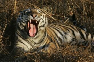 Un tigru cu Covid-19, eutanasiat la o grădină zoologică din Suedia