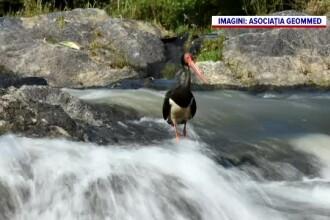 Imagini de o frumusețe rară în Maramureș. Berzele negre au poposit în zonă