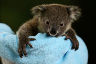 Doi pui de koala, vedetele unei Grădini Zoologice din Australia