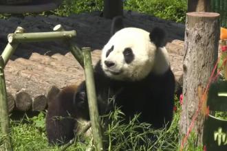 Petrecere pentru unul dintre cei mai celebri urși panda. Ce aere de vedetă a avut