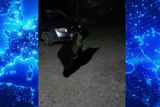 Lucalnicii din Mureș sunt terorizați de urși.