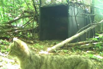 Imagini rare cu o pisică sălbatică. Cum a reacționat felina
