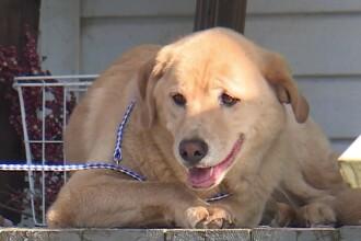 Povestea unui Labrador care și-a căutat stăpânii timp de doi ani. Unde a fost găsită