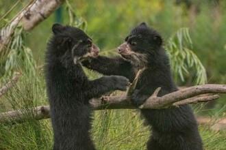 Doi pui de urs gemeni, atracție în Marea Britanie. Au făcut cunoștință cu primii vizitatori la zoo