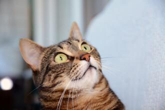 Un bărbat a dat vina pe pisică pentru că soția lui a rămas însărcinată. Ce a făcut animalul