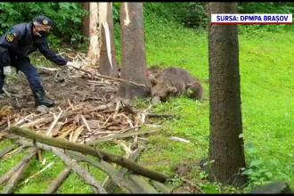 Imagini tulburătoare. Un urs s-a zbătut zeci de minute, după ce a rămas prins în sârma unui gard, într-o gospodărie