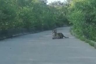 VIDEO. Momentul în care un tigru siberian se întinde pe o stradă, filmat de un taximetrist