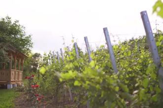 În ţara noastră doar 30% din suprafaţa viticolă este dedicată vinului de calitate
