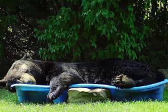 Un urs a fost surprins în timp ce se răcorea într-o piscină pentru copii