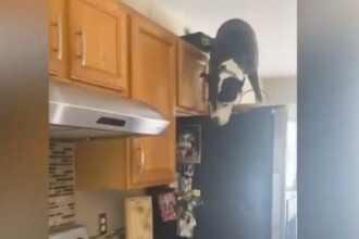 VIDEO. Un pitbull și-a uimit stâpânii. Se comportă exact ca o pisică