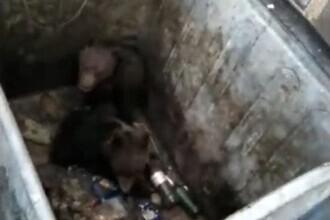 Doi pui de urs, eliberați de jandarmi dintr-un tomberon, în Poiana Brașov  VIDEO