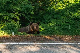 Bărbat atacat de urs la Breaza. Este al doilea atac în 24 de ore