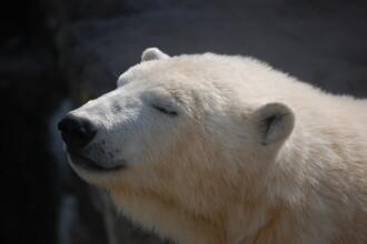 Ursul polar de la gradina zoologica din Chicago, afectat si el de gerul din SUA