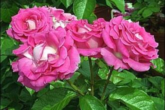 Explozie de culoare si mireasme la cea mai mare parada a trandafirilor din judetul Alba