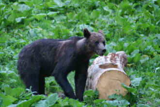 Misiune delicata pentru salvarea unui pui de urs ramas orfan