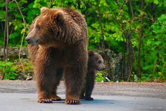Sinaia eliberata de sub teroarea ursilor! Al 17-lea urs, capturat marti
