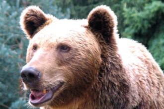 Satenii din comuna valceana Racovita, terorizati de ursi!