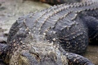 Captura record in SUA. O familie din Alabama a prins un crocodil care cantareste peste 450 de kilograme