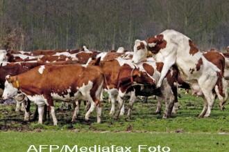 Scandal de proportii. Lapte de la vaci clonate,de vanzare in Marea Britanie