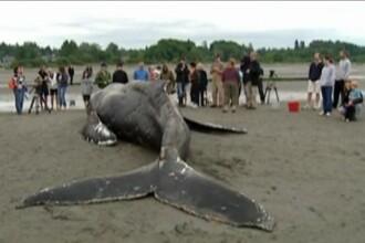 VIDEO. Gest impresionant. Reactia a zeci de oameni fata de o balena esuata pe tarm