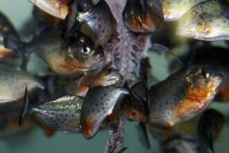 Cei mai periculosi pesti au mai facut o victima. O fetita de 18 luni, muscata de piranha