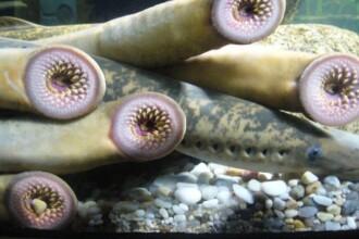 Monstrul marin care ar putea salva o specie de la disparitie