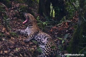Caz neobisnuit in SUA. Un barbat a impuscat un leopard, animal care nu traieste in America de Nord