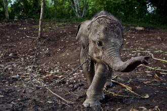Povestea trista si impresionanta a lui Raja, puiul de elefant tinut in lanturi de satenii furiosi