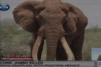 Elefantul emblematic al Africii a fost ucis. Satao a cazut victima vanatorilor de fildes
