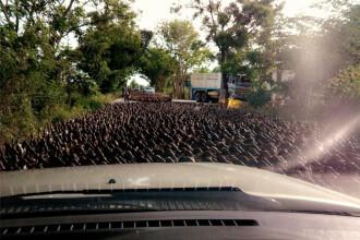 """""""Raul de rate"""" din Thailanda. Ce se intampla cand un cârd urias de pasari blocheaza o sosea. VIDEO"""