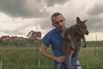 Caz inedit pentru un medic veterinar din Suceava. A reusit sa opereze cu succes cangurul unui milionar ucrainean