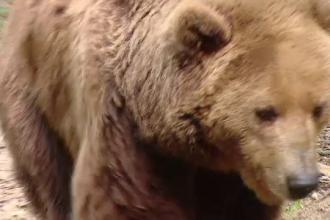 Un urs brun, protejat de lege, ucis intr-o gospodarie din Harghita. Ce risca braconierii si cati bani trebuie sa dea statului