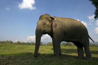 Un elefant si-a ucis insotitorul si a fugit cu 3 turisti in spate, in Thailanda. Cum s-a produs incidentul