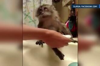 O maimutica draguta, careia ii place sa fie curata, si-a facut numerosi fani pe internet. Ce face atat de special