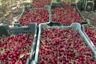 Cati bani se castiga din cirese la Ciresoaia. 140 de pomi dau 7 tone de fructe care ajung in Turcia, Italia sau Rusia
