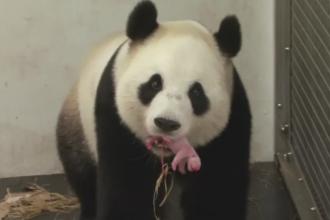 Premiera in Belgia, unde o femela panda a fatat la ZOO din Bruxelles. Puiul cantareste 170 de grame